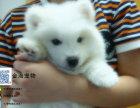 出售纯种银狐犬活泼可爱疫苗驱虫已做齐全包健康签协议