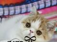 异国短毛猫纯种加菲猫宠物猫活体幼猫加菲猫