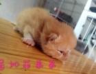 加菲猫折耳猫黄色加菲猫弟弟