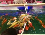 吃奶鱼项目用的锦鲤