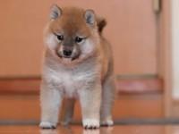 广州哪里买狗好 广州买柴犬首选 正规犬舍 赛级品质