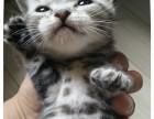 自家繁育标准斑纹虎斑猫出售