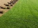 大量出售优质草坪草花