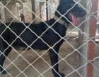 三个月的黑狼犬多少钱?哪里出售成年黑狼犬