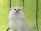 家庭猫舍专业繁殖金吉拉猫包纯种健康