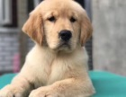 高品質聰明活波大頭金毛犬個個都是大頭骨架的