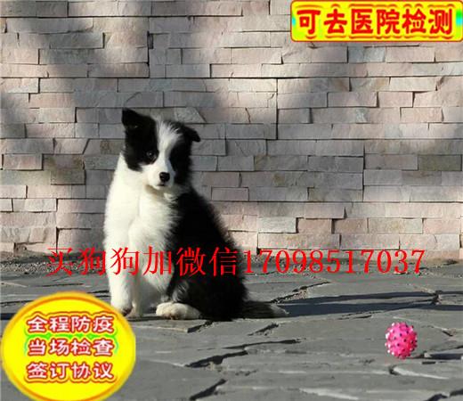 本地出售纯种边境牧羊犬 七百三通到位 可上门挑选