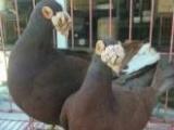 出售纯种圆环元宝鸽,品种齐全全国包邮