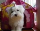 合肥哪有马尔济斯犬卖 合肥马尔济斯犬价格 马尔济斯犬多少钱