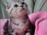 虎斑猫 店铺双飞猫