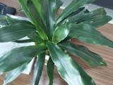 东莞室内绿植租摆,东城花卉出租,汇安植物租赁公司