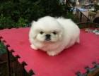 佛山哪有京巴犬卖 佛山京巴犬价格 佛山京巴犬多少钱