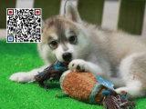 哪里出售哈士奇犬 纯种哈士奇犬多少钱