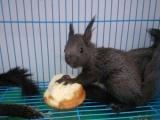 黄山松鼠幼崽、魔王松鼠幼崽等,全国发货