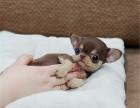 正规犬舍出售精品吉娃娃幼犬包健康签协议送用品