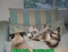 家庭养殖萌宠出售粘人可爱泰国暹罗猫 火爆热销送用