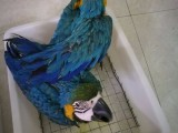 專業繁殖葵花鸚鵡 灰鸚鵡 金剛鸚鵡 鸚鵡 折衷鸚鵡
