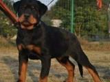 罗威纳犬是山区喂养吗 哪里有卖成年罗威纳犬的