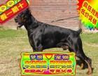 纯种杜宾犬德系杜宾犬 专业繁殖杜宾犬 品质健康保证