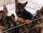 纯家养纯种骨架结实毛色黑亮的德国牧羊犬包健康