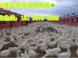 鹅苗供应 品种优良  江苏东升家禽欢迎前来考察
