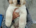 常年出售金毛,泰迪,比熊,雪纳瑞,巴哥幼犬