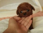 纯种泰迪幼犬贵宾犬巧克力泰迪包健康可上门选购