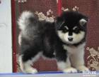 购宠无忧阿拉斯加雪橇犬 出售 十字脸 家养 纯种