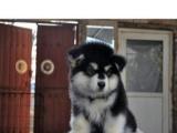 威武,高贵气质雪橇犬巨型阿拉斯加