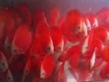 小金鱼出售,观赏鱼出售,热带鱼出售,水族馆,热带鱼专卖