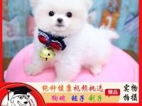 养殖场促销 茶杯泰迪犬 精品小体博美犬幼犬活体 签订售后协议
