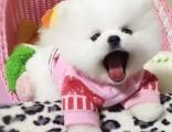 博美多少钱一只 哪里有卖博美犬 济南出售博美犬