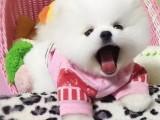 博美多少钱一只 哪里有卖博美犬 北京出售博美犬