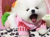 博美多少錢一只 哪里有賣博美犬 北京出售博美犬
