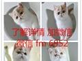 出售纯种家养加菲猫,美短,波斯猫,英短蓝猫