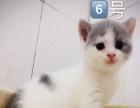 出售英短美短小猫咪