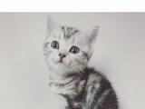 虎斑纹折耳立耳猫出售,北京