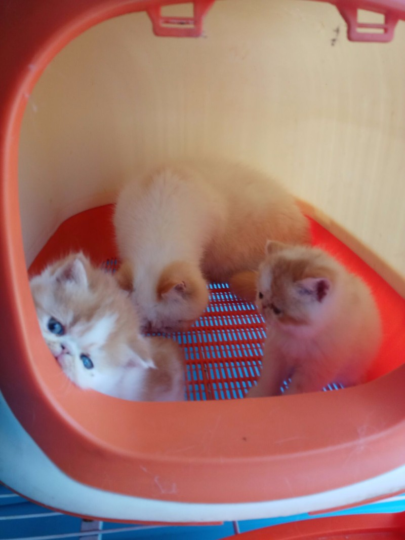 家养纯种加菲猫3个月弟弟妹妹