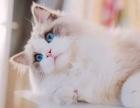 重庆哪里有布偶猫卖的 布偶猫多少钱 布偶猫好养吗