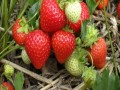 哪种草莓好吃 草莓苗多少钱一棵