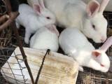 廣州從化公羊兔活體 成年公羊兔 養殖公羊兔肉兔 廠家供應