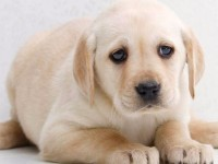 纯种导盲犬拉布拉多火爆出售 健康纯种 包血统