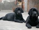 本地出售双血统拉布拉多幼犬 品质高保健康 签协议
