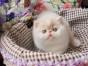 成都哪里有猫舍卖加菲猫的成都猫舍加菲猫价格