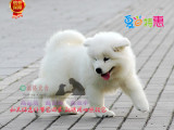 纯种微笑天使萨摩耶幼犬赛级犬后代保健康可签协议