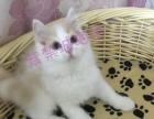 双血CFA英国短毛猫高地纯种浅三花英短蓝猫蓝白乳白