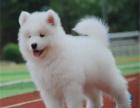 精品微笑天使萨摩耶幼犬,签协议包健康,可送货上门