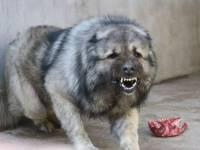 纯种高加索 护卫犬 毛色纯正 骨架大 毛量多保证健康