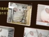 自己的龙猫宝宝五个月