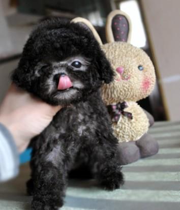 高品质泰迪熊 正规狗场直销多种世界名犬 健康包半年可送货上门